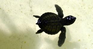 A baby sea turtle swims its way to growth in Pawikan Nesting Sanctuary, Maitum, Sarangani.